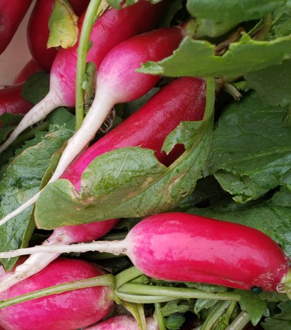 French Breakfast radish are longer with a white end to the root. Cherry Belle radishes are globe like and there are some purple radishes as well in this week's mix.