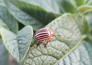 Well these challenging foes known as potato bugs are out in full force. This is an adult potato bug, and they love to eat the leaves of the potato plant. The problem is without leaves a plant cannot conduct photosynthesis and without photosynthesis the plant cannot create food to create potatoes. Trust me...they will eat the ENTIRE plant.