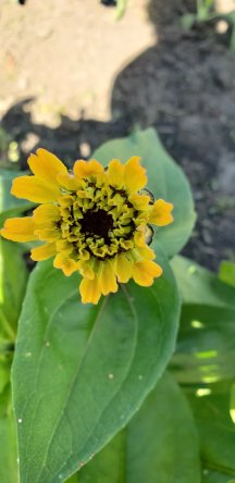 Zinnia that just opened that morning.