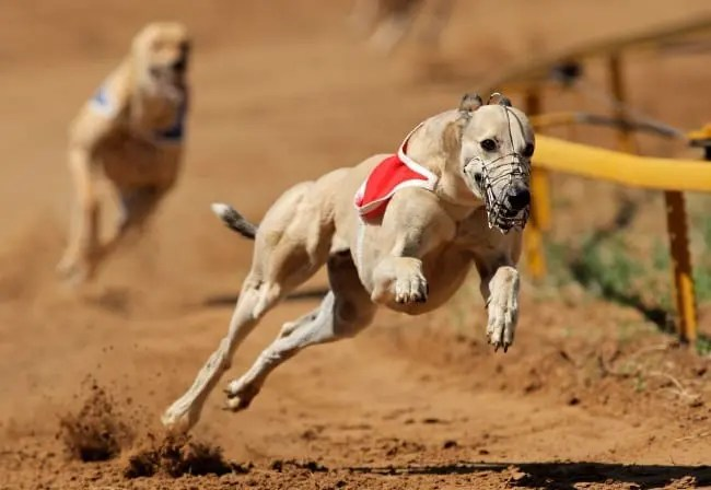 With the wave of a pen, Australian lawmakers banned greyhound racing. Is harness racing prepared to defend itself should politicians turn their attention to it? | ecosnap / 123RF Stock Photo