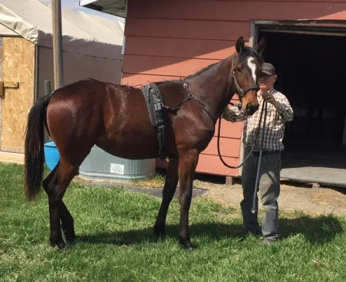 Courtesy Gordon Empey | Trainer Gordon Empey gets a young one ready on its first day in harness at his Cenalta Farms in Alberta.