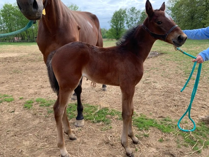 Stay Hungry filly out of Aldine Hanover foaled at Tara Hills Stud