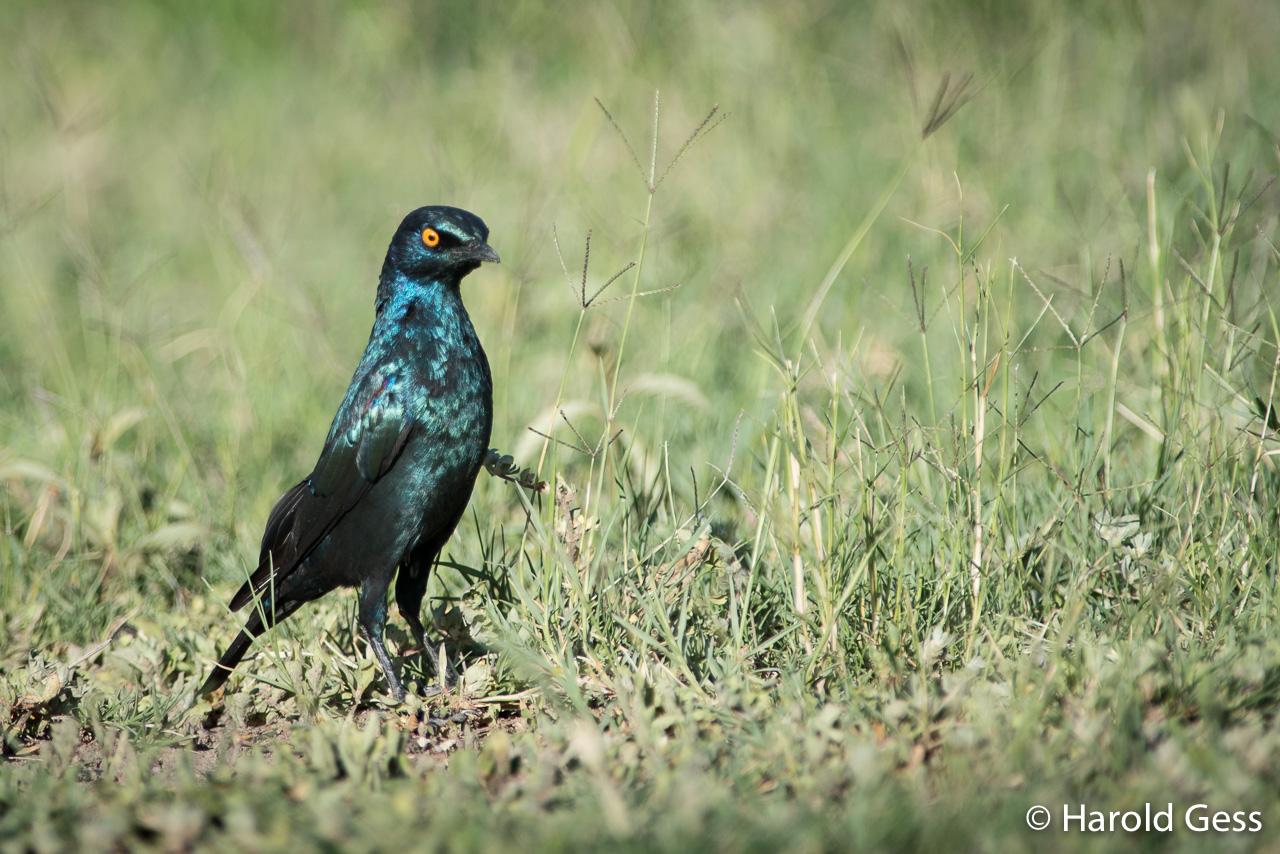 Cape Glossy Starling, Lamprotornis nitens, Leeupoort, Limpopo