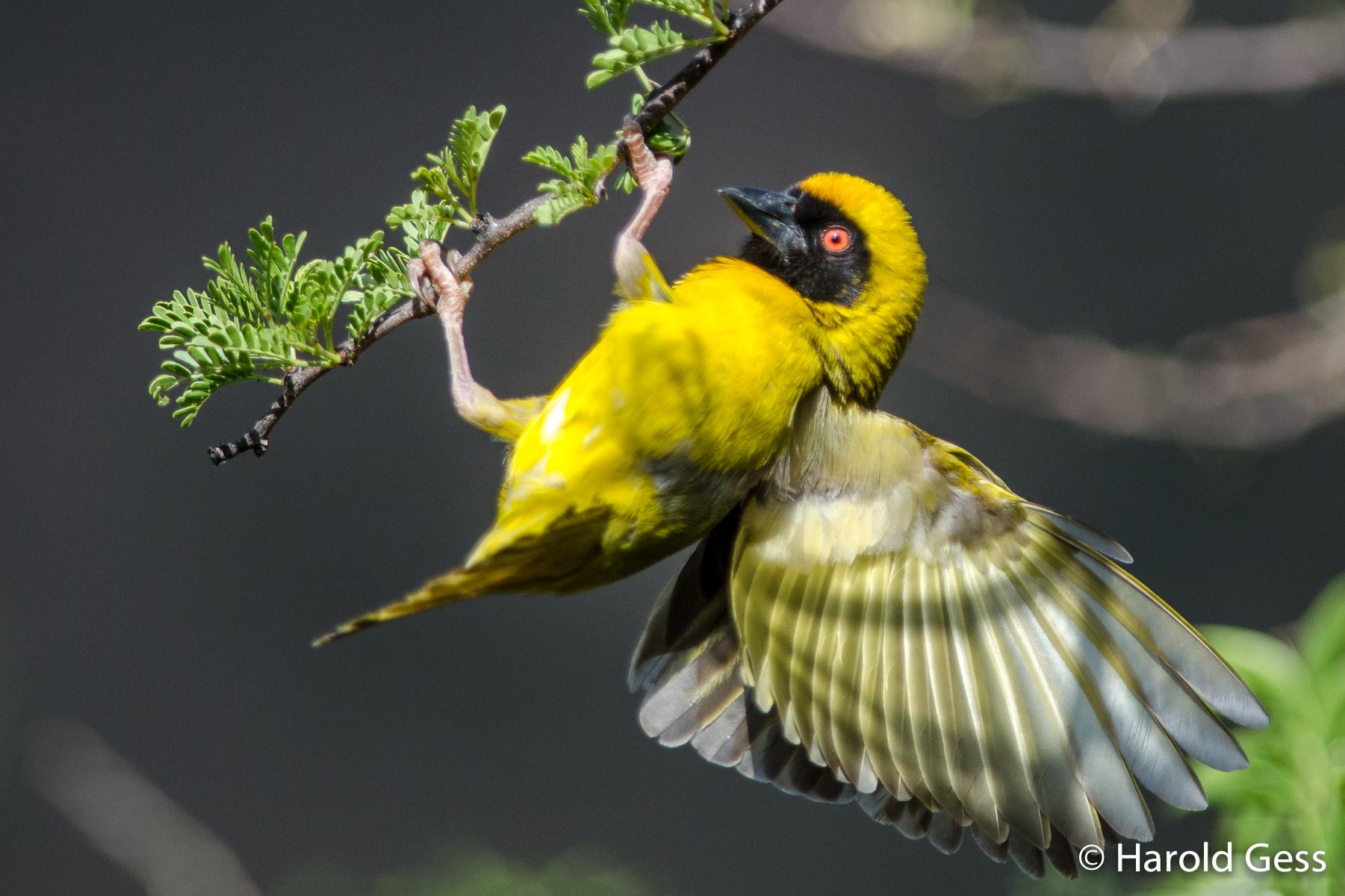 Southern Masked Weaver, Ploceus velatus, male, Bedford Eastern Cape