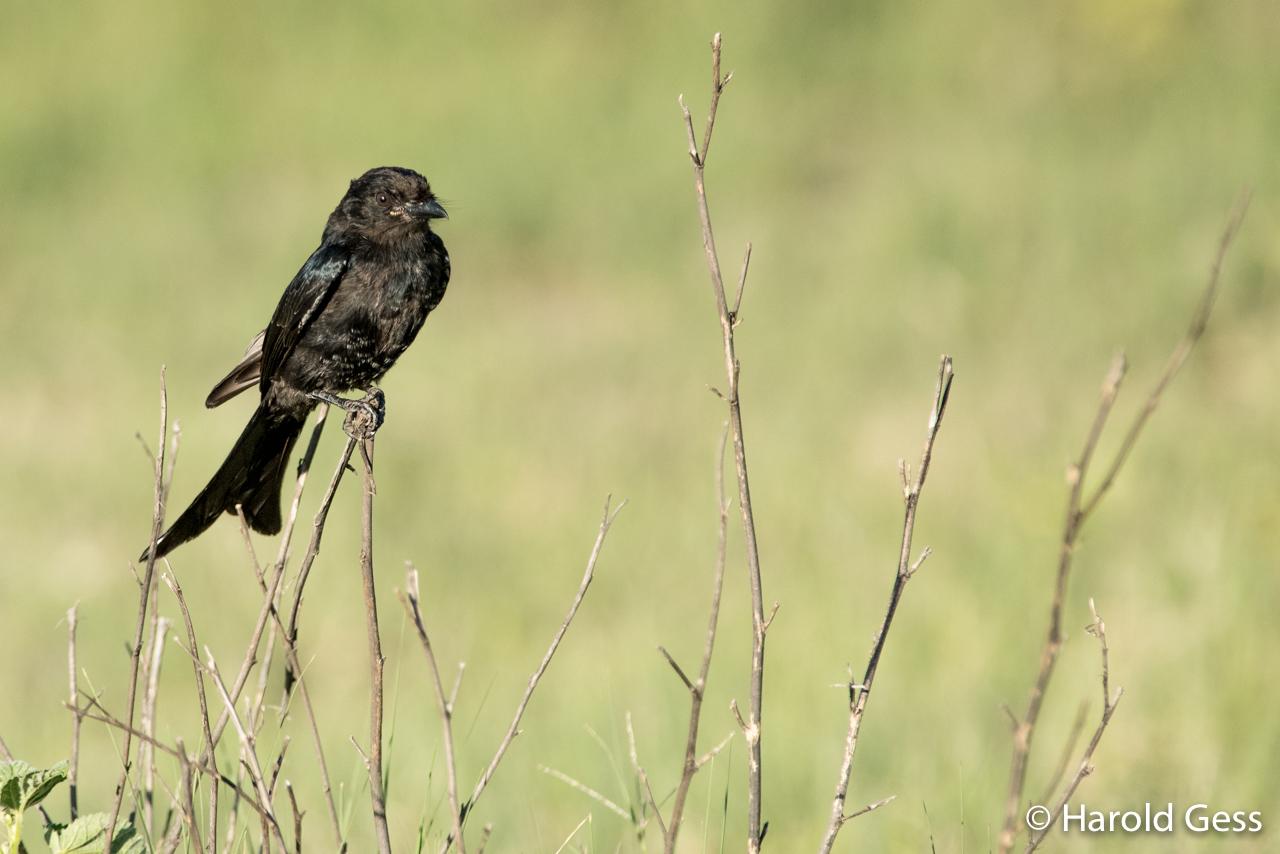 Fork-tailed Drone, Dicrurus  adsimilis, Leeupoort, Limpopo