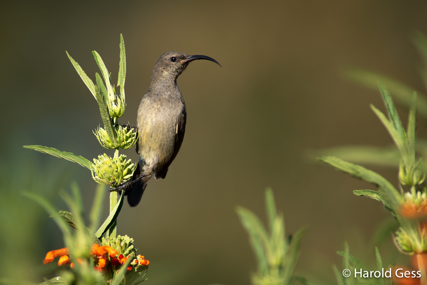 Greater Double-collared Sunbird, Cinnyris afer, female, Grahamstown, Eastern Cape