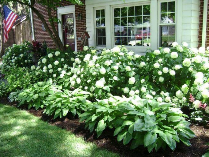 Front Yard Landscaping Ideas Lush Hydrangeas and Hostas - harpmagazine