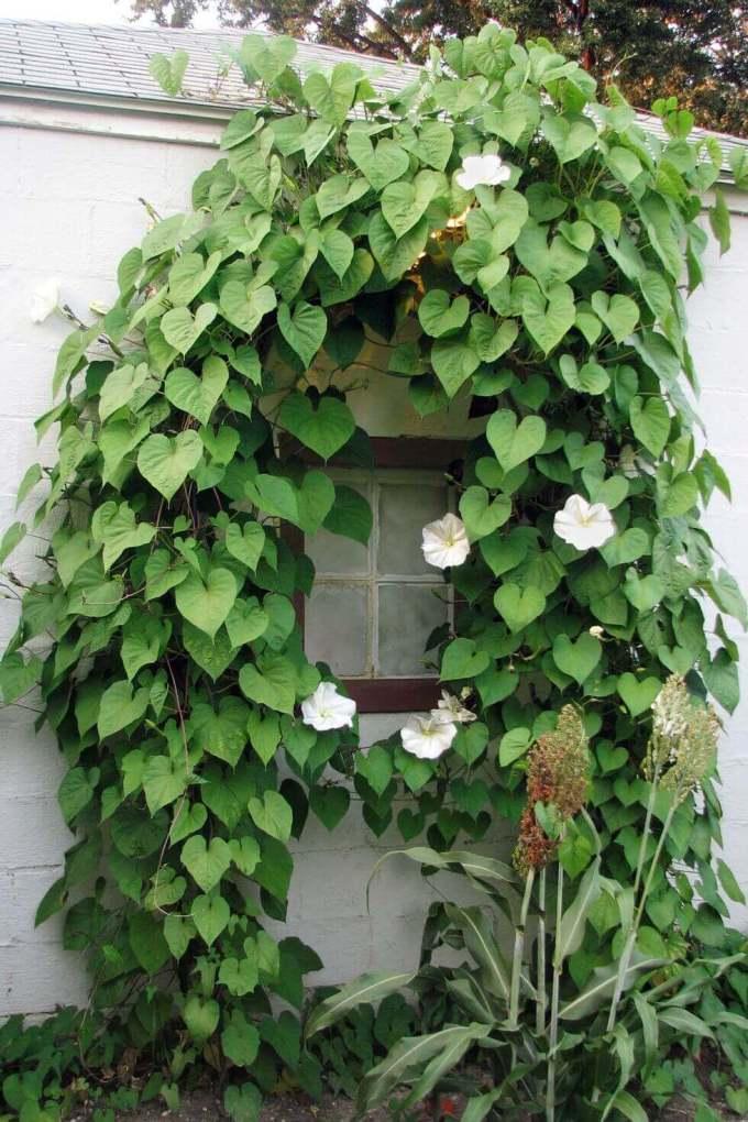 Backyard Landscaping Ideas - Climbing Moonflower - harpmagazine.com
