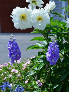 Peony and Delphinium in Ruth Hartman's garden, June, 2015