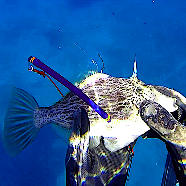 Spearfishing Triggerfish Greece Aegean islands Ägäis Tutorial Guide Spots harpunieren laws restrictions guide tutorial