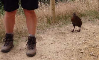 A local Weka coming to see if there was any food to spare