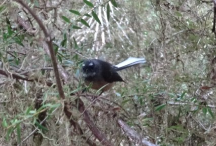 A fantail defending its territory.