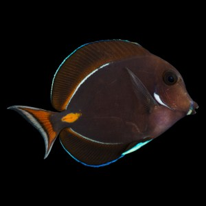 Achilles Tang -EXPERT ONLY