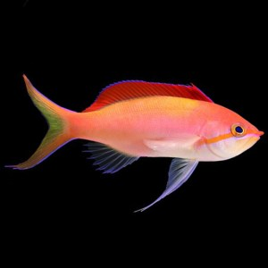 Dispar Anthias Male