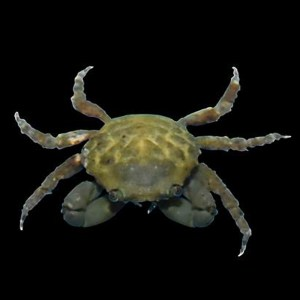 Green Emerald Crab