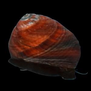 Nerite Snail