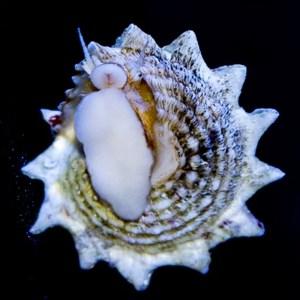 Ninja Astrea Snail (Spiny Star Astraea)
