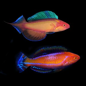 Wrasses & Parrot Fish
