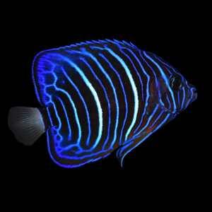 Annularis Angelfish MD