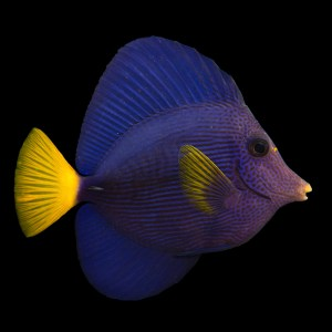 Purple Tang – Now available
