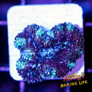 HML Purple People Eater Acan #2