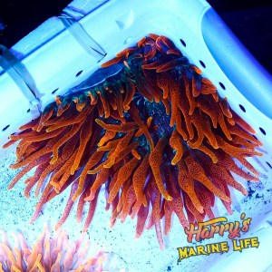 HML Large Inferno Anemone