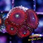 HML Red Chaos Zoas