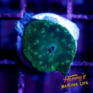 HML Green Diamond Disco