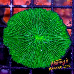 HML Green Slime Fungia Plate