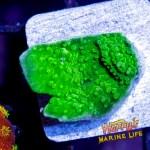 HML Green Apple Monti #6