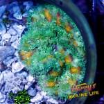 HML Maxi Mini Rainbow Anemone