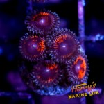 HML imperfect zoas