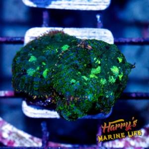HML Green Pea Rhodactis Double