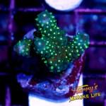 HML Green Polyp Acro