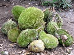 Durian Tengku Chik