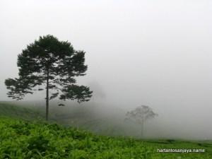 "Kabut di ""karpet hijau"" perkebunan teh Dempo"