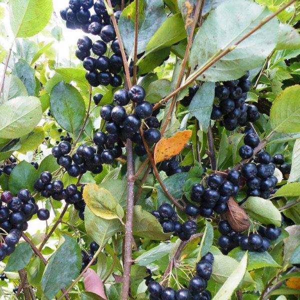 Viking Aronia Berry | Hartmann's Plant Company | Wholesale ...