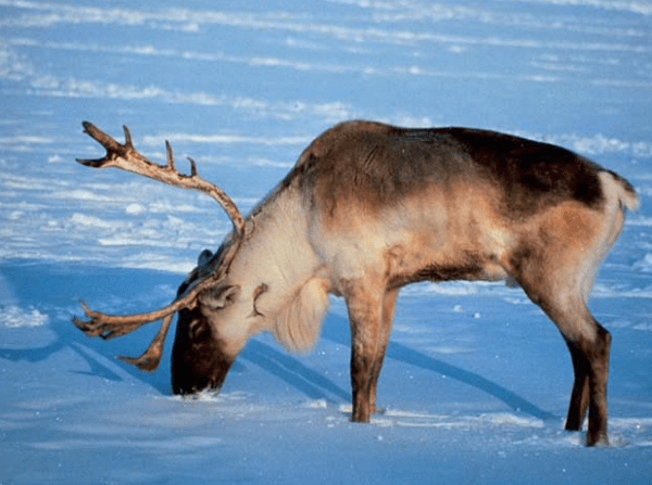 Endagered animals in the biome Tundra Icecaps