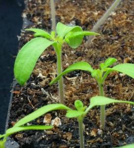 10 day germination2