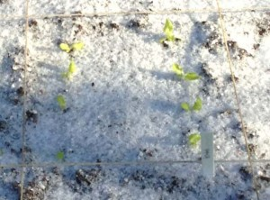 Oakleaf Lettuce 4-16-14
