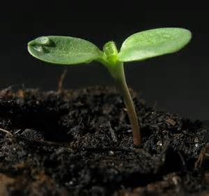 sunflower seedling 2