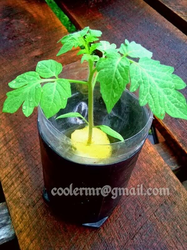 Cara Menanam Tomat Hidroponik : menanam, tomat, hidroponik, Menanam, Tomat, Hidroponik, Harusketemu