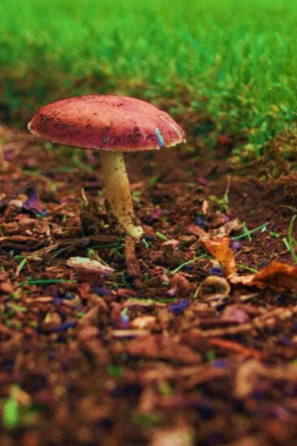 "2014 Photo Challenge, Week 23 Nature & Wildlife – GROUND ""Regal Mushroom"" Sony A33, 55mm, ISO1600, f 5.6, 1/8sec"