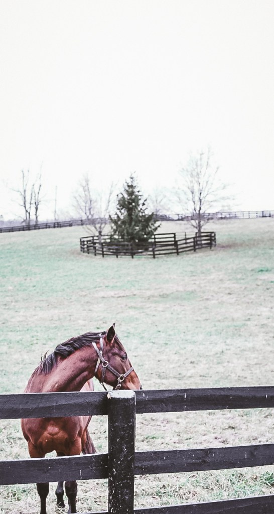 A thoroughbred in Lexington, KY