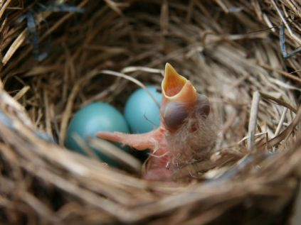 Newly hatched among unhatched