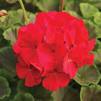 Geranium Bullseye Red