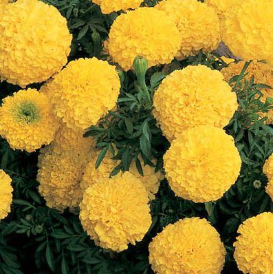Marigold African Inca Yellow