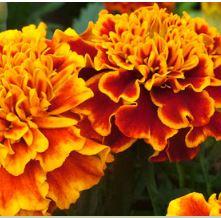 Marigold Honeycomb