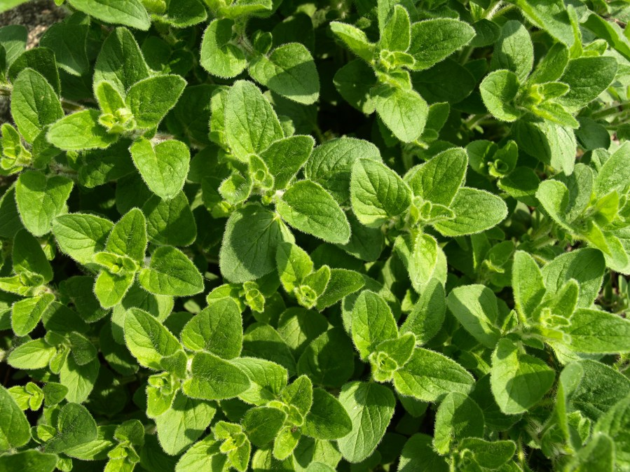 Oregano Stock