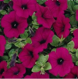 Petunia Easy Wave Purple